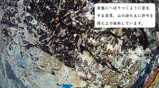 岩茸(いわたけ)自生風景