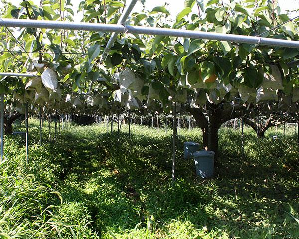 山の木のように育てると、梨は自ら美味しさを増す。