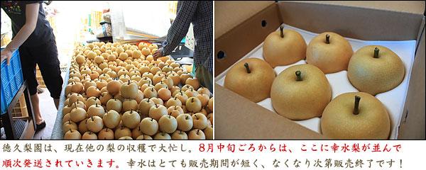 梨の収穫時期・最盛期を迎えた徳久梨園・選果作業の様子