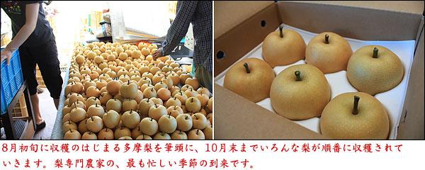 梨農家が一年でもっとも忙しい季節が来ました!