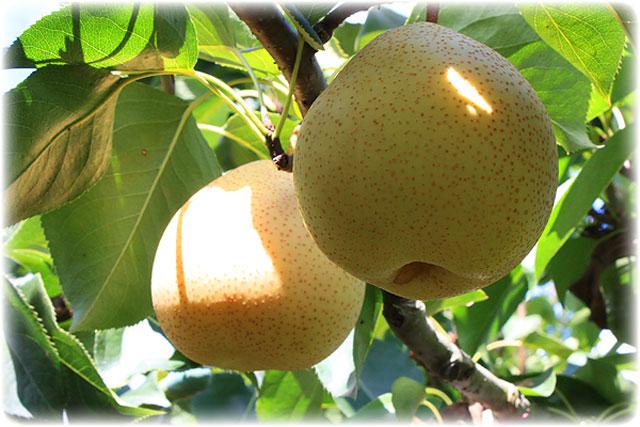 ハッタツなし(八達)を樹上で「本当の完熟の状態」を見極め収穫、発送!