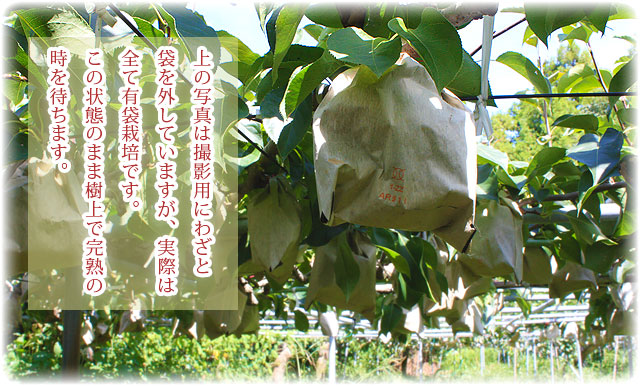 ハッタツは全て有袋栽培