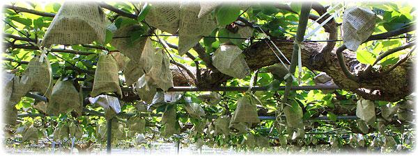 木なり完熟・有袋栽培