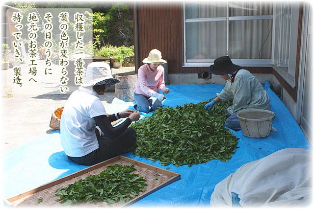 茶葉の選別風景