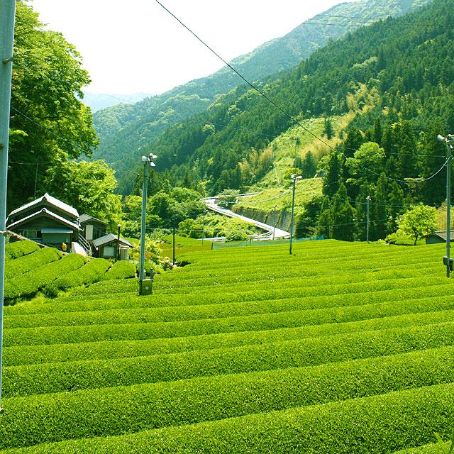 高知県・池川の茶畑