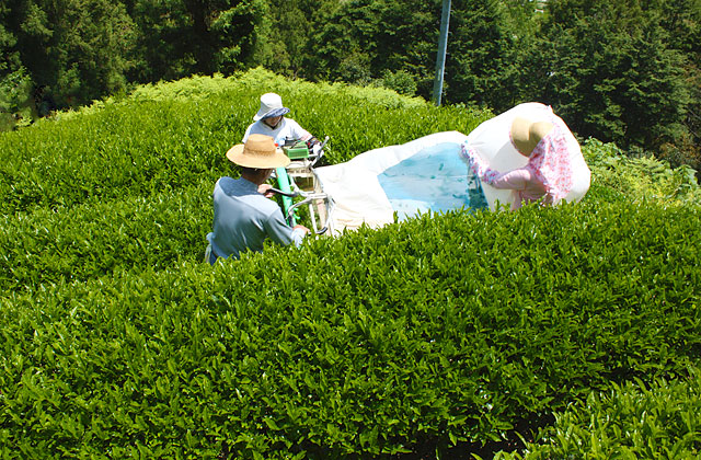 高知・池川の茶畑・高本さんちの茶摘み風景