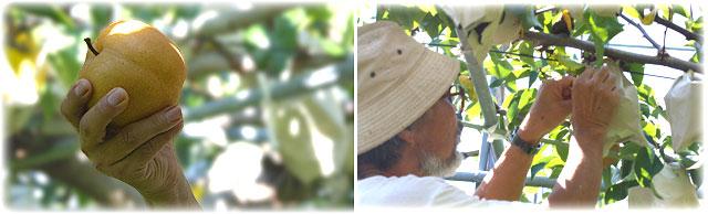 豊水梨は有袋(ゆうたい)栽培です