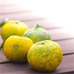 農薬不使用、実生の柚子のみ