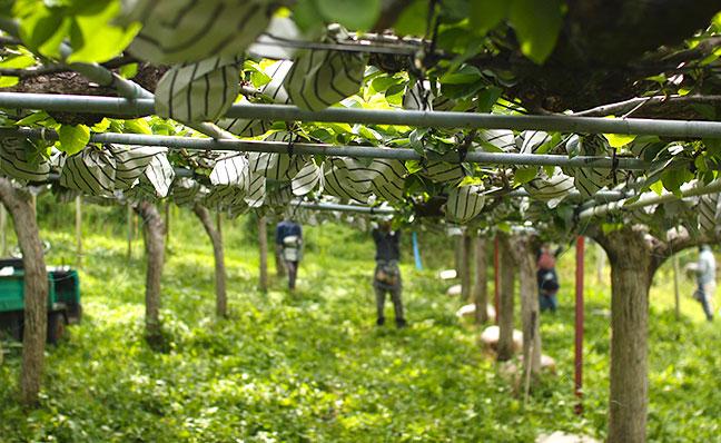 当梨園の秋月(あきづき)梨は、全て有袋(ゆうたい)栽培です