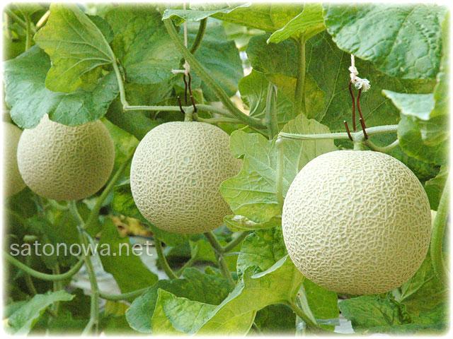 エメラルドメロンの隔離栽培