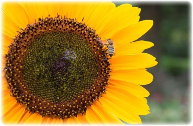 ひまわりの花に飛来した日本蜜蜂(ニホンミツバチ)