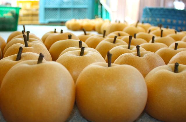 完熟を待って樹上から切り離し、収穫した梨