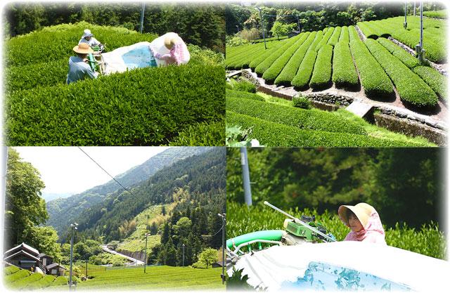 高本さんちの茶畑は、足場の悪い急斜面の山肌にあります