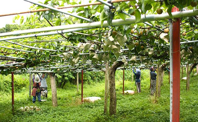 甘太(かんた)・梨の果実に袋がけをしている様子