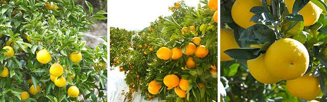 高知を代表する果物。左から、小夏・山北みかん・文旦