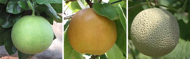 土佐を代表するフルーツ(くだもの)。左から水晶文旦(すいしょうぶんたん)・新高梨(にいたかなし)・エメラルドメロン
