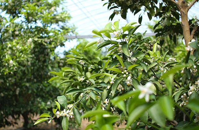 ハウス内、小夏の樹に咲く白い花