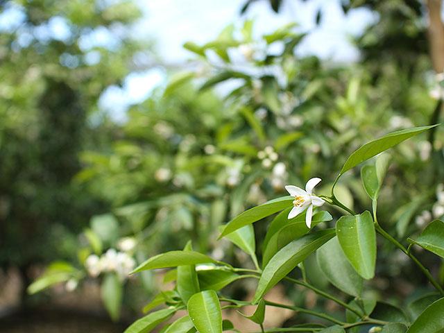 小夏の花(ハウス栽培・4月の風景)