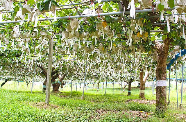 新高梨の栽培風景・遠景