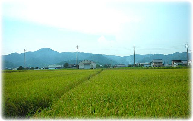 きたやんのお米が実る、田んぼ風景