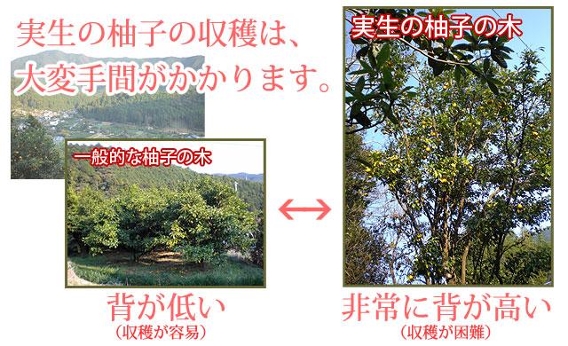 実生の柚子と一般的な柚子の違い