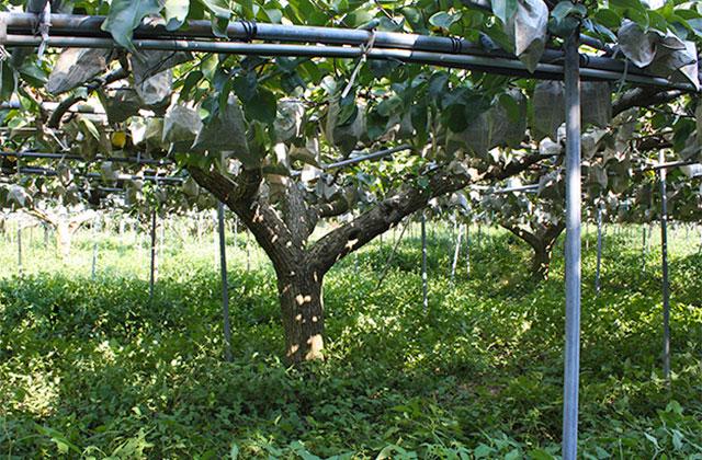 収穫時期を迎えた新高梨