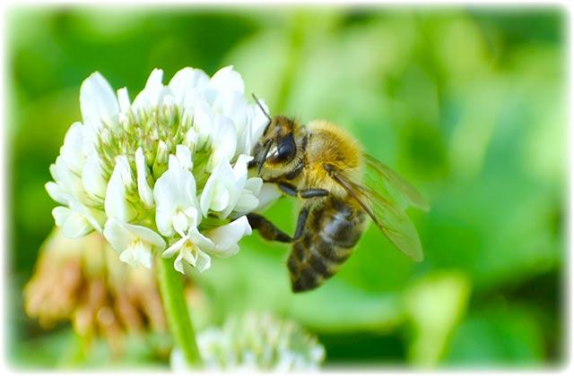 日本蜜蜂(ニホンミツバチ)