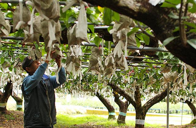 新高梨の収穫風景