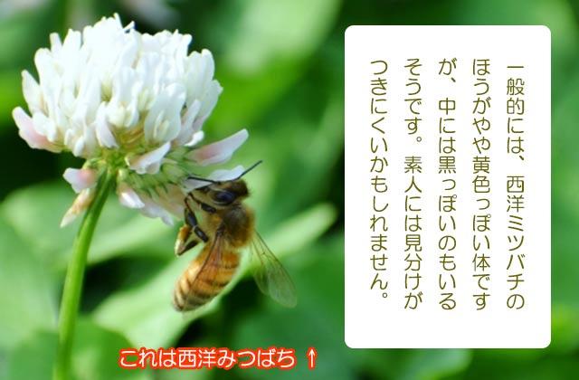 これは西洋みつばち・(日本蜜蜂との違いがわかりますか?)