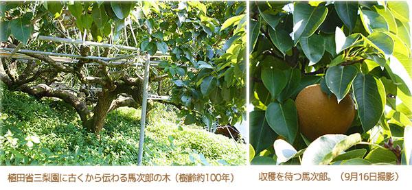 樹齢100年の馬次郎の木
