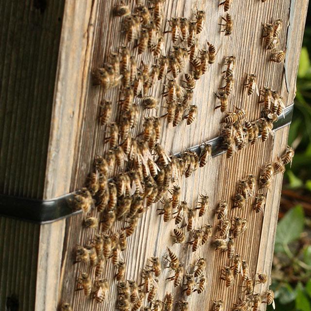 ニホンミツバチ・巣箱の拡大写真